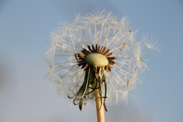 Close Dandelion Flying Seeds Pointed Flower Nature
